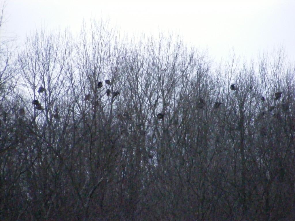 turkeys in the trees